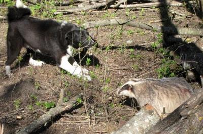 Охота с лайками на барсука